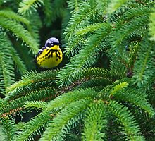 Magnolia Warbler in fir canopy by Michaela Sagatova