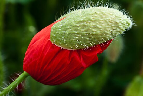 Poppy with a hat by Karen Havenaar