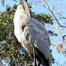 Wood Stork ~ Tall and Proud by AuntDot
