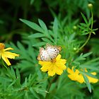 White butterfly on yellow flower by Ben Waggoner