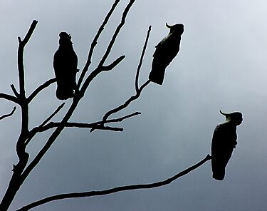 Silhouette Sulphur Crested Cockatoos by Rookwood Studio ©