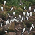 Seabird Colony - Gull Island, Witless Bay, Newfoundland by Stephen Stephen