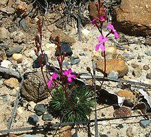 Dwarf triggerplant, Stylidium lineare by orkology