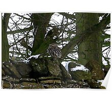 Little Owl/non captive Poster