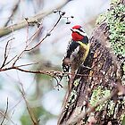 Woodpecker Yellow Bellied by Pat Moore