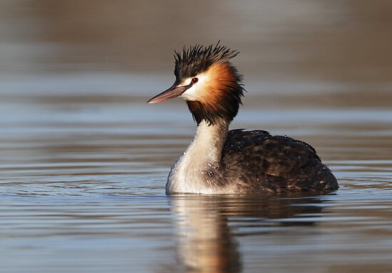 Great Crested Grebe - Lake Bindegolly by Simon Bennett