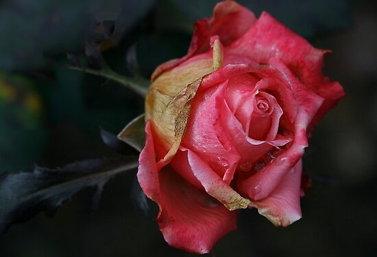 Could It Be a Faded Rose From...? by Monnie Ryan