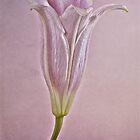 Lily by KathleenRinker
