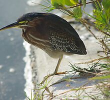 Green Heron by Karen Checca