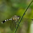 Green Dragonfly by Coriena