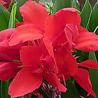 Red Canna - Lily by EdsMum