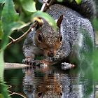 Squirrel Reflection by AnnDixon