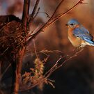 Bluebird at Sunset by Lori Deiter