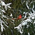 Cardinal in Snow by 3jsthree