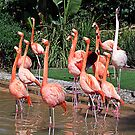 Flamingos by Paul Benjamin