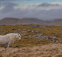 Brecon Beacons Pony (viewed 110 times) by Cliff Williams