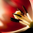 Courtship,  tulip in close up, pistils and stamit. by Bigganvi