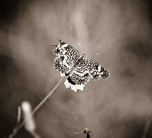 Moth on Flower, TX USA-Split Tone by GJKImages