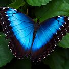 Blue Morpho Butterfly by Jenni77