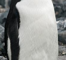 Chinstrap penguin 3 by rhallam