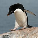 Adelie penguin 2 by rhallam