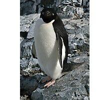 Adelie penguin 3 Photographic Print