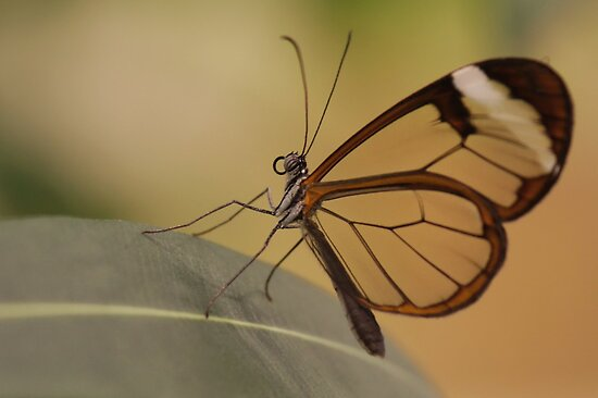 Glasswing butterfly by Lindie
