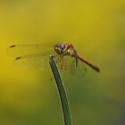 Female Autumn Meadowhawk by Steve Borichevsky