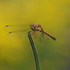 Female Autumn Meadowhawk by Steve Borichevsky