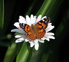 Painted Lady , wonder down under by Daphne Gonzalvez