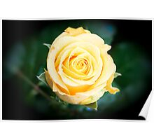 A Single Yellow Rose Poster