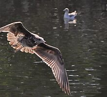 Lake Natoma gull 1 by Lenny La Rue, IPA
