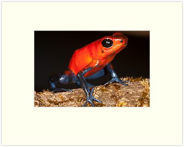 Strawberry Poison Dart Frog by apgdphoto