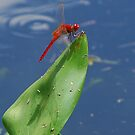 Red dragonfly sunning by Ben Waggoner