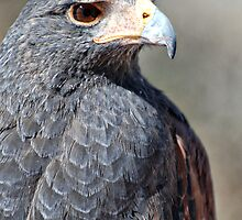 Harris Hawk by Saija  Lehtonen