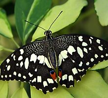 Open Wings Lemon Butterfly - Papilio demoleus by Lepidoptera