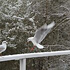 Bird - seagull in the winter by JF Gasser
