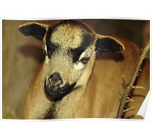 Cameroon sheep Poster