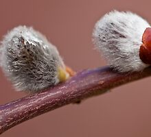 Pussy Willow by Ray Clarke