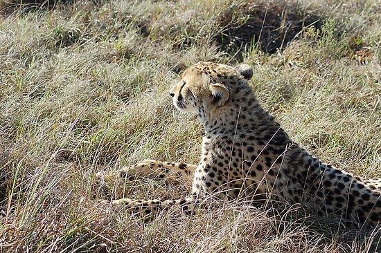 cheetah waiting by shaft77