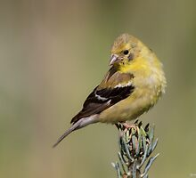 American Goldfinch by Michaela Sagatova
