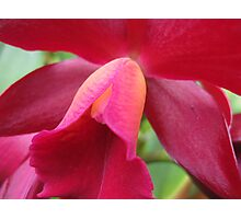 Tutankhamun Orchid Flower Close-Up Photographic Print