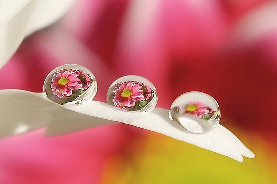 Pink daisy dew drops by Lyn Evans