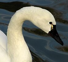 Tundra Swan Portrait by Robert Miesner