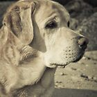 Watching the tide - Labrador at beach by NicoleBPhotos