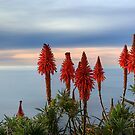Red Pokers Over The Pacific (Laguna Beach, California) by Brendon Perkins