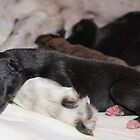 I love my Mum .. 1 Day old Greyhound by Dave Callaway