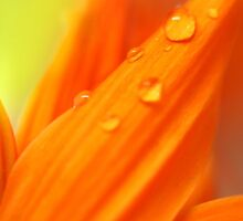 water drop lets on orange petals by snehit