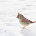 female cardinal in the snow by mltrue