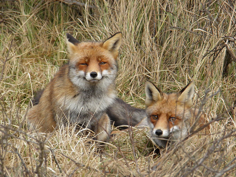 Two  foxes by angeljootje